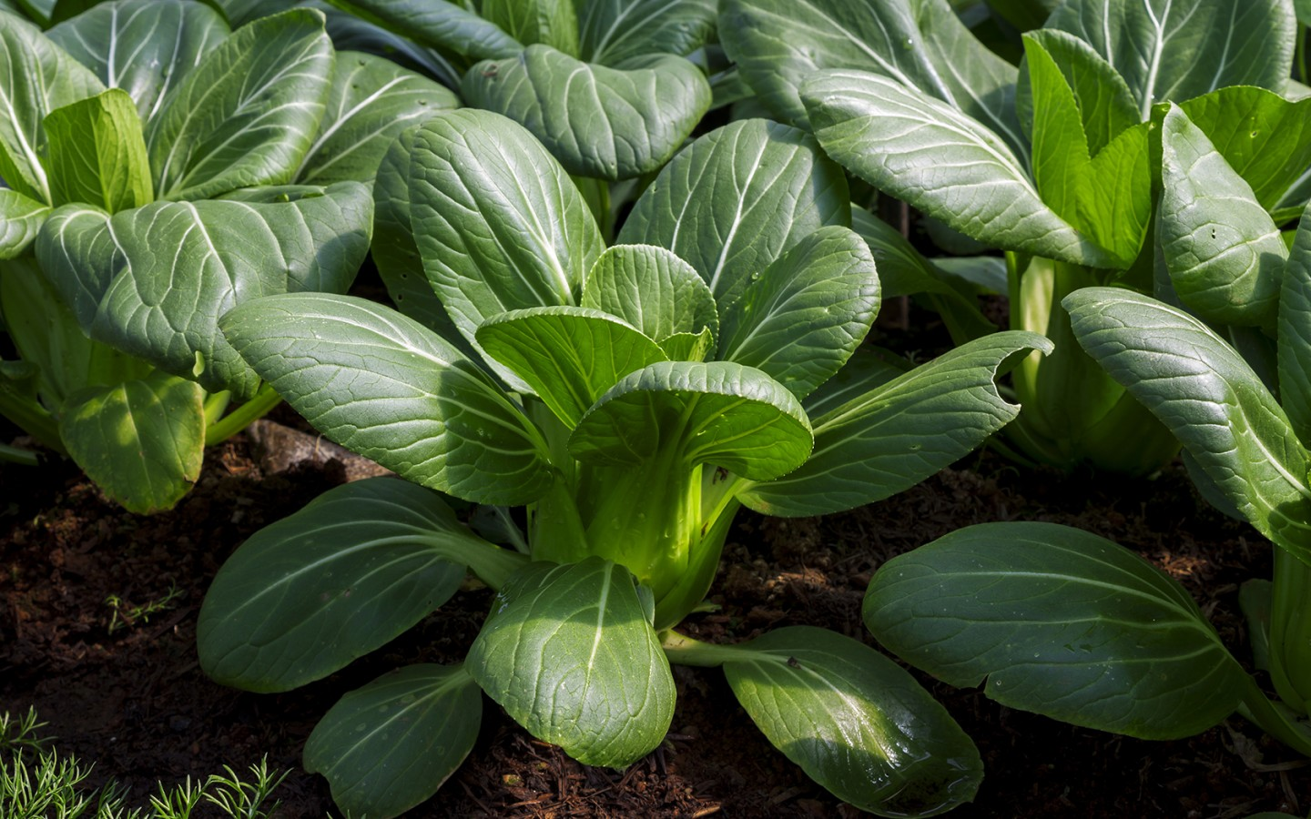 Vegetable of the Day: Bok Choy