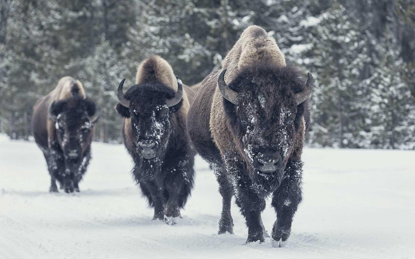 Bison vs. Beef