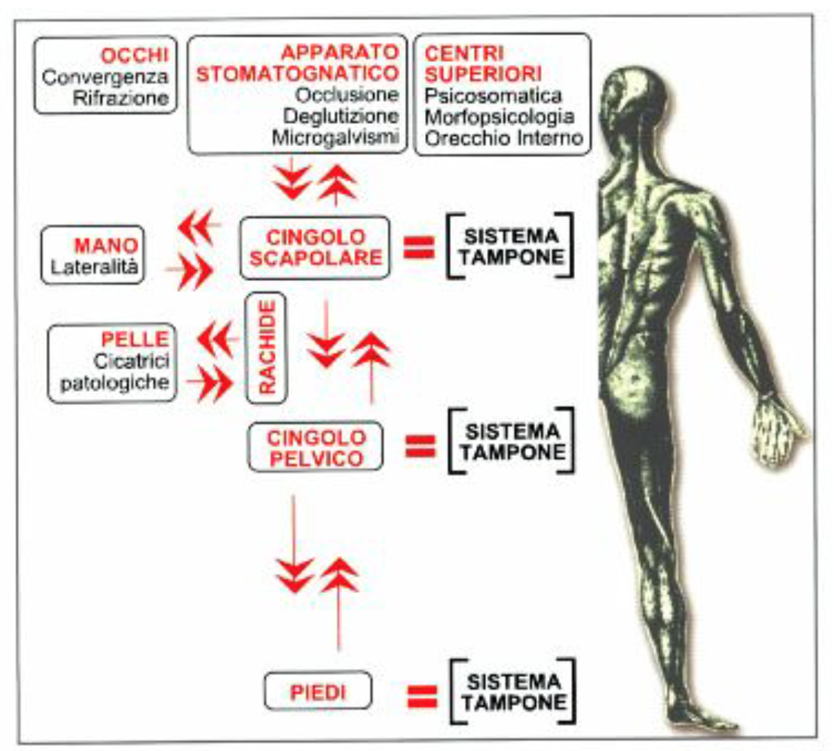Welcome to your Tonic Postural System – (TPS)